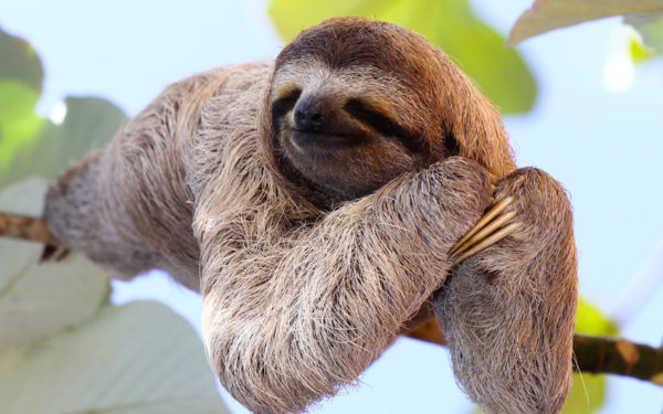 the sloth is the national symbol for the slow pace the pura vida life implies
